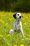 Young dalmatian sitting between dandelion flowers Stock Images