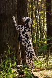 Dalmatian in forest. Young dalmatian stand on back paws and put  front paws at the tree and looking on it at sunny day Royalty Free Stock Photography