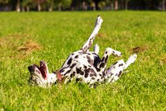 Dalmatian in forest. Young dalmatian wallows on grass at sunny day Royalty Free Stock Images