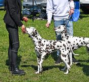Young dalmatians dogs outdoor. In spring time royalty free stock photo