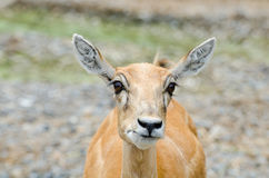 Young dappled deer Royalty Free Stock Images