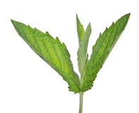 Young dark green mint leaves isolated on white Royalty Free Stock Photo