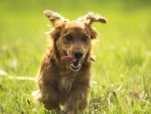 Young Daschund puppy dog running on a field. Image of a young Daschund puppy dog running on a green field Royalty Free Stock Images