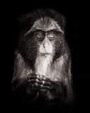 Young de Brazza's Monkey Στοκ φωτογραφία με δικαίωμα ελεύθερης χρήσης