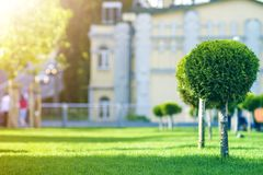 Young decorative pine tree with lash round neatly trimmed foliage, ornamental plant growing on green grass along city street on royalty free stock image