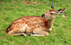Free Young Deer Stock Photography - 10570632