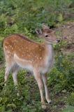 Young Deer Stock Photo