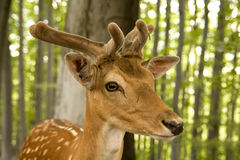 Young deer Royalty Free Stock Image