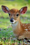 Young deer. The Sika deer is one of the few deer species that does not lose its spots upon reaching maturity Royalty Free Stock Photos