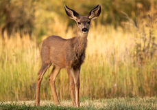 Young deer. Early morning in the Mesa Verde park Royalty Free Stock Photos