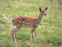 Young deer Stock Photos