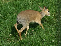 Young deer. On a special auroches farm in Russia Royalty Free Stock Photos