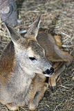 Young Deer. A small deer. This baby is some weeks old Stock Image
