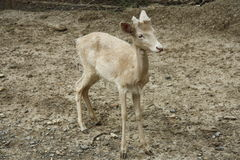 Young deer Royalty Free Stock Photo