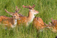 Young deer. Are resting in a meadow on a sunny day Stock Photos