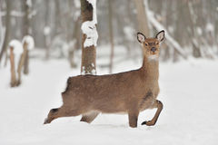 Young deer Stock Photography
