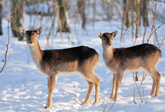 Young deer Royalty Free Stock Photography