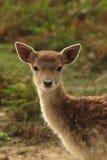 Young deer Royalty Free Stock Photos