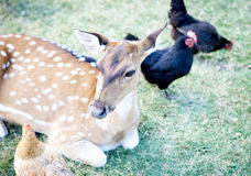 Young deer. Portrait and chickens Stock Photo