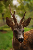 Young deer. In natural environment royalty free stock image