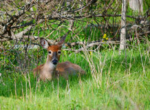 Young Deer. Resting in tall grass Royalty Free Stock Images