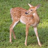 Young deer. Whitetail fawn in a grassy field in summer stock photo