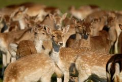 Young Deer Royalty Free Stock Images