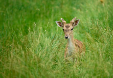Young deer. Stand in tall grass Royalty Free Stock Photo