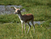 Young deer Stock Image