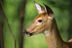 Young Deer on Alert in the Woods Royalty Free Stock Images