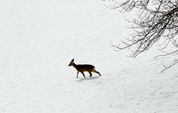 Young deer amid the snow royalty free stock images