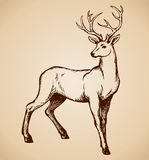 Young Deer Antlered. Vector Drawing Royalty Free Stock Photo
