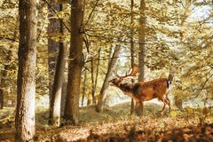 A young deer in the autumn forest. royalty free stock photography
