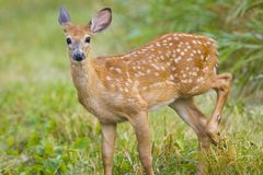 Young Deer Bamby Roe Stock Photos