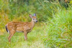 Young Deer Bamby Roe Royalty Free Stock Images