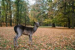A young deer in the beautiful autumn park of Blatna castle. Czech Republic royalty free stock photo