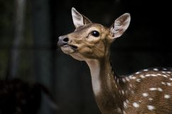 Young deer with black background stock photography