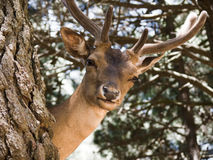 Young deer buck Stock Photography
