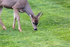 Young Deer Buck Grazing at Point Defiance Park. Young Deer Buck grazing grass at Point Defiance Park in Tacoma Washington royalty free stock photos