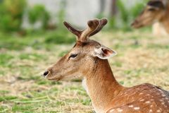 Young deer buck with growing antlers Royalty Free Stock Image