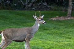 Young Deer Buck at Point Defiance Park. Young Deer Buck standing pose at Point Defiance Park in Tacoma Washington stock photography