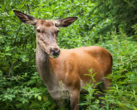 Young deer in the bushes Stock Photography