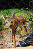 Young deer in captivity. Very young deer looking through a fence Royalty Free Stock Photos