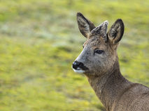 Young deer captured in nature Stock Photo