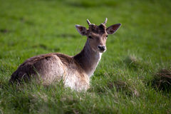 Young deer chewing on grass Stock Photos