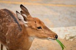 Young deer. In chiang mai night safari Stock Images