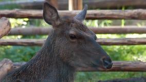 Young deer stock video