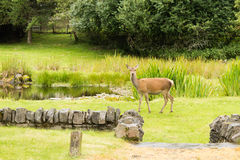 Young deer close up Royalty Free Stock Photo