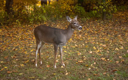 Young deer with copyspace #5 Royalty Free Stock Photography