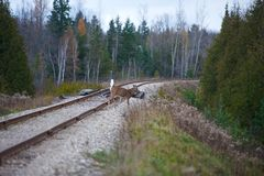 Deer crossing railways Royalty Free Stock Photography
